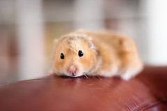 Loðholts Rembrandt (astakatrin) Tags: pet cute beautiful animal yellow golden furry fluffy tortoiseshell calico hamster rembrandt syrian banded longhaired umbrous loðholts horthaired