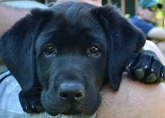 Puppy (S Elizabeth T) Tags: dog black cute puppy lab labrador canine smushy vettech