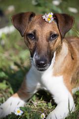 La Penny (FiPremo) Tags: dog cane terrier fox margherita