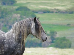 Beast (prairiegirrl) Tags: wildlife handsome beast wyoming mustang wildhorses