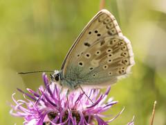 Chalk-hill blue (David R Owen) Tags: blue macro butterfly chalk nikon ditch devils hill sigma cutting dyke chalkhill 105mm burwell d810 lysandracoridon