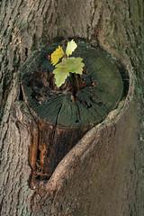 Inside (Daniel Kulinski) Tags: new tree green photography born oak europe image daniel creative young picture seed samsung poland trunk inside 60mm 1977 photograhy nx pruszkow samsungcamera nx1 kulinski samsungnx imageloger nx60mm danielkulinski samsung60mm imagelogger samsungnx1 nx60mmf28