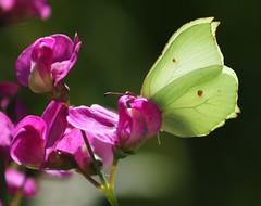 Brimstone butterfly (ekaterina alexander) Tags: pictures flowers summer england flower nature gardens butterfly garden insect photography sussex outdoor insects alexander brimstone ekaterina highdown gonepteryx