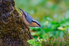 茶腹鳾 Eurasian Nuthatch (mikleyu) Tags: bird animal nature eurasiannuthatch 鳥 動物 自然 canon7d2