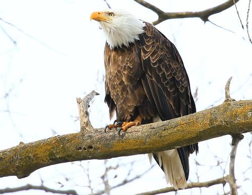 bald eagle near Decorah Fish Hatchery IA 854A6464