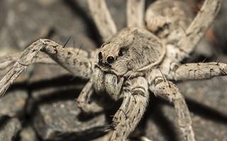 male grey Lycosidae