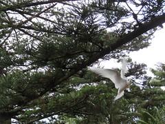 White Tern (jdf_92) Tags: australia lordhoweisland tern bird whitetern white gygisalba island unesco