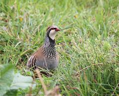 Perdiz comum //  Alectoris rufa // Red legged partridge (Jangada2011) Tags: perdizcomum alectorisrufa redleggedpartridge