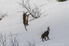 _17A2482 (gabrielecristiani) Tags: camoscio salto rupicapra parcoalpimarittime natura mammiferi mammals parcodelmarguareis nikon d500 sigma150600 nginationalgeographicbyitalianpeople