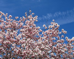 IMG_2122 (quirkyjazz) Tags: trees clouds spring lookingup magnolias blueskky