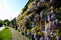 Wisteria in Whitchurch (Trev Earl) Tags: flowers canon buckinghamshire 5d whitchurch wisteria