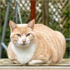 Stanley just posing (No_Water) Tags: red orange brown white cute cat snowshoe ginger tiger lisa stanley