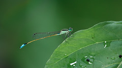 Ghost leaf. (TheLostVertex) Tags: macro leaves closeup insect outdoors leaf day flash damselfly
