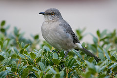 Posing (ZombyLuvr) Tags: bird nature backyard unitedstates wildlife northcarolina mockingbird