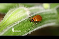 Matellic Brown Beetle (Ringgo Gomez) Tags: pictureperfect nikon105mm nikond90 malaysianphotographers elitephotography perfectphotographer perfectphotographers sarawakborneo nikond90club corcordians