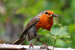 Robin (Erithacus rubecula) with insects (Ron and Co.) Tags: bird robin garden backyard feeding erithacusrubecula europeanrobin