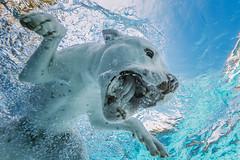 Barlgh! (*Knowledge*) Tags: dog pool swimming canon underwater canine pitbull spl f8 dogswimming kilo americanstaffordshireterrier 14mm 14l pooldog waterhousing 1d4 divingdog bullybreed underwaterdog 1dmarkiv