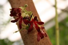 Averrhoa bilimbi - Komkommerboom - Botanische tuin Delft-1 (Ruud de Block) Tags: oxalidaceae averrhoabilimbi botanischetuintudelft komkommerboom botanicalgardentechnicaluniversitydelft ruuddeblock