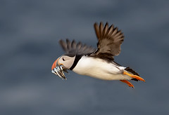 Puffin in flight (Photo Crazy Rob) Tags: nature birds wales flying nikon san flight july explore puffin rc pembrokeshire eels 2013 skome d7000