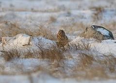 Jorduggla, Galtabäck, Halland, December 2012 (Gavia_Stellata) Tags: birds sweden aves sverige fåglar shortearedowl asioflammeus jorduggla