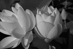 water lilies (MicheleSana) Tags: summer white black paris france water lily july lilies parigi ninfee 2013
