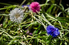 White Cornflower (Stephen Whittaker) Tags: pink flowers blue sun white nikon pov cornflower d5100 whitto27
