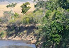 DSC_8053 (H Sinica) Tags: safari masaimara maasaimara marariver africanfisheagle