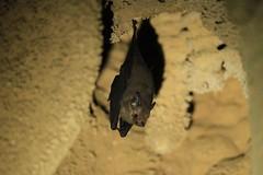 Western Sheath-tailed Bat (Baractus) Tags: rock john bat western madagascar oates anjajavy sheathtailed emballonura tiavato paremballonura