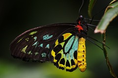 Cairns Birdwing Butterfly (Ornithoptera euphorion) (tbrittaine) Tags: butterfly insect australian australia tropical melbournezoo cairns birdwing ornithopteraeuphorion