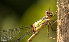 DSC03298 (Ausscheider) Tags: macro deutschland sand sony mm schmidt alpha makro tamron sven 90 slt insekten 65 tamron90mm spinnen kehl badenwrttemberg libellen makrofotografie rheinwald willsttt hesselhurst