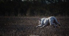 (Katarina Drezga) Tags: pet pets dogs nature perro perros dogphotography petphotography fileds dogoargentino d3100 nikond3100 nikkor55300mm4556gvr