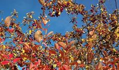Ruska - koristeomenapuu (KamalaKala) Tags: autumn tree colours puu syksy ruska vrit maluspurpurea koristeomenapuu