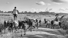Cowboys (Matt in Malawi) Tags: africa people blackandwhite bw monochrome animal cow ef1635mmf28lusm malawi canoneos7d