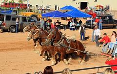 Full Power Ahead (Bob Palin) Tags: horses 15fav usa utah draft draught ironcounty cedarcity instantfave diamondz ashotadayorso crosshollow orig:file=20131026134512048 heritageandlivestockfestival