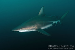 I, Shark (Around The Blue World) Tags: africa blue shark nikon underwater south tokina requin sud 1017 shoal afrique d300 blacktip sousmarin sousmarine aliwal carcharhinus limbatus bord aroundtheblueworld