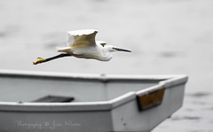 Going overboard (Photography by Julia Martin) Tags: egret whitebird littleegret supershot flyingegret canon300mmf28is canon5dmarkiii photographybyjuliamartin