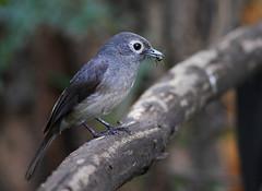 White-eyed Slaty Flycatcher (Rainbirder) Tags: kenya ngc lakenakuru whiteeyedslatyflycatcher melaenornisfischeri avianexcellence dioptrornisfischeri rainbirder