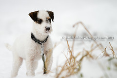 Miss Bella's 1st Snow (daniline) Tags: puppy downs russell indianapolis indiana terrier highland bella miss parson copyrightdarlaanilinephotographycom2013
