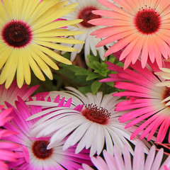 Colourful Daisies (Anthony Plancherel) Tags: flower daisies colourful