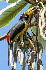 DSC_4293-1024-2 (Paulo Lahr) Tags: brazil bird birds brasil nikon ave brazilian nikkor mato grosso tucano 70300 araari d5100