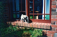 Baby Duncan 3 (2003) Training for the circus (John Panneman Photography (AcePanno)) Tags: dog pug australia scan canberra duncan act