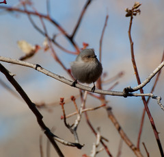 Bushtit- The Most Unfortunate Bird Name Ever