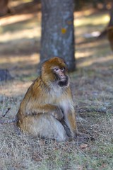 Barbary macaque 2 (Ryoushi no syokubutsuen) Tags: art sahara nature landscape desert arabic berber marocco marrakech magrib almagrib medrassa