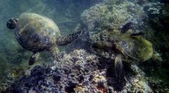 Honu (kgilbertsen) Tags: hawaii turtle maui snorkeling seaturtle aw110 hawaiimauinikonaw110