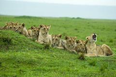 _01Y6424 (Richard Denyer) Tags: lion lioncub masaimara