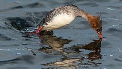 Red-breasted Merganser (Mergus serrator) (ER Post) Tags: bird duck unitedstates michigan muskegon merganser redbreastedmergansermergusserrator