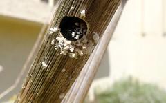 Xylocopa iris f - Drilling nest - 29 V 2012 (el.gritche) Tags: hymenoptera apidae xylocopinae xylocopa iris xylocopairis france 40 garden nest foeniculumvulgare bee abeille