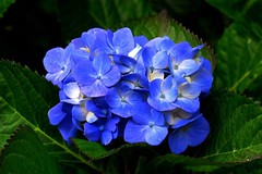 37/365 hydrangea (SKR_Photography) Tags: newzealand green garden auckland 365 upclose hydrangeas downunder 2014 landofthelongwhitecloud 365days hydranges bluehydrangeas bluehydranges