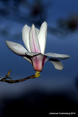 Magnolie (grafenhans) Tags: sony alpha tamron blüte garten frühling magnolie 2590 grafenwald slt55
