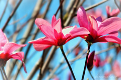 A Magnificent Spectacle (dorameulman) Tags: light flower color floral beautiful landscape nc spring northcarolina magnolia saucermagnolia spectacle gastonia dorameulman